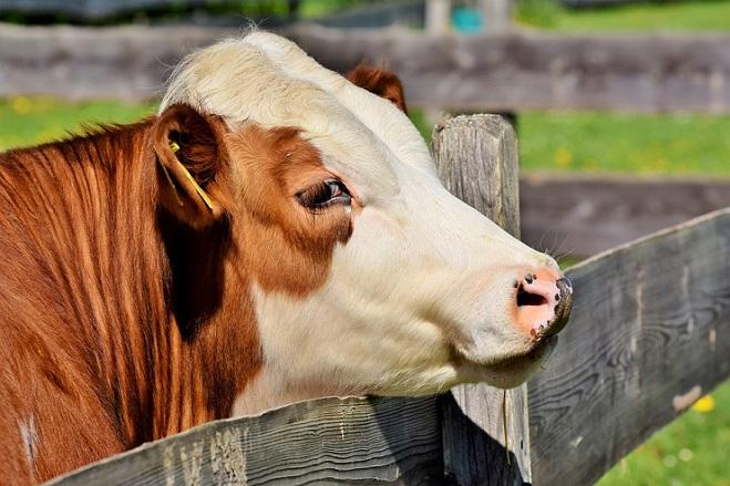 Süt üretimi, büyük baş hayvancılık için elzemdir