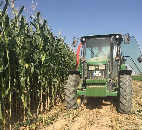 Eskil'de sılajlık mısır hasadı sürüyor