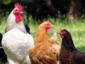 Tavuk yumurtası üretimi 1,7 milyar adet olarak gerçekleşti