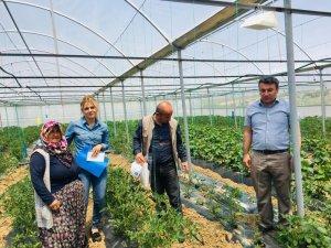Aksaray'da domates güvesi mücadelesi için seralara tuzaklar asıldı