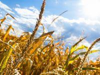 Tahıl üretiminde azalma bekleniyor