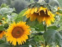 Bayraktar'dan önemli ayçiçeği fiyatı uyarısı!