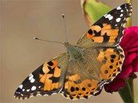 """İlimizde görülen  """"Vanessa"""" diken kelebeği zararsızdır"""