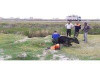 Aksaray'da bataklığa saplanan dana AFAD tarafından kurtarıldı