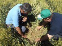 Aksaray'da Süne Mücadelesi Çalışmaları