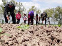 Şanlıurfalı İşçiler Çoluk Çocuk Tarlada