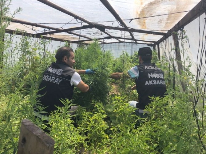 Narkotik polisinden seralara Hint keneviri operasyonu