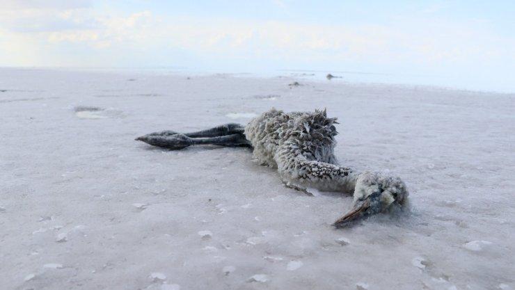 Tuz Gölü'nde flamingoların esrarengiz ölümü dikkat çekiyor