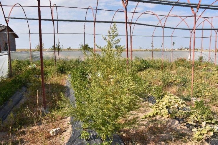 Virüslere karşı etkili peygamber süpürgesi bitkisi Aksaray'da da yetiştirildi