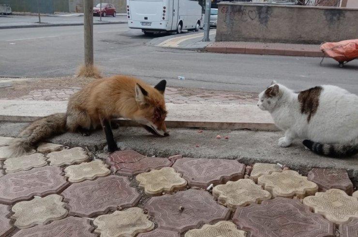 Tilkiyi sokak kedisi gibi beslediler