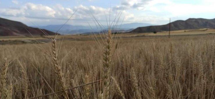 Nallıhan'da arpa ve buğday hasadı başladı