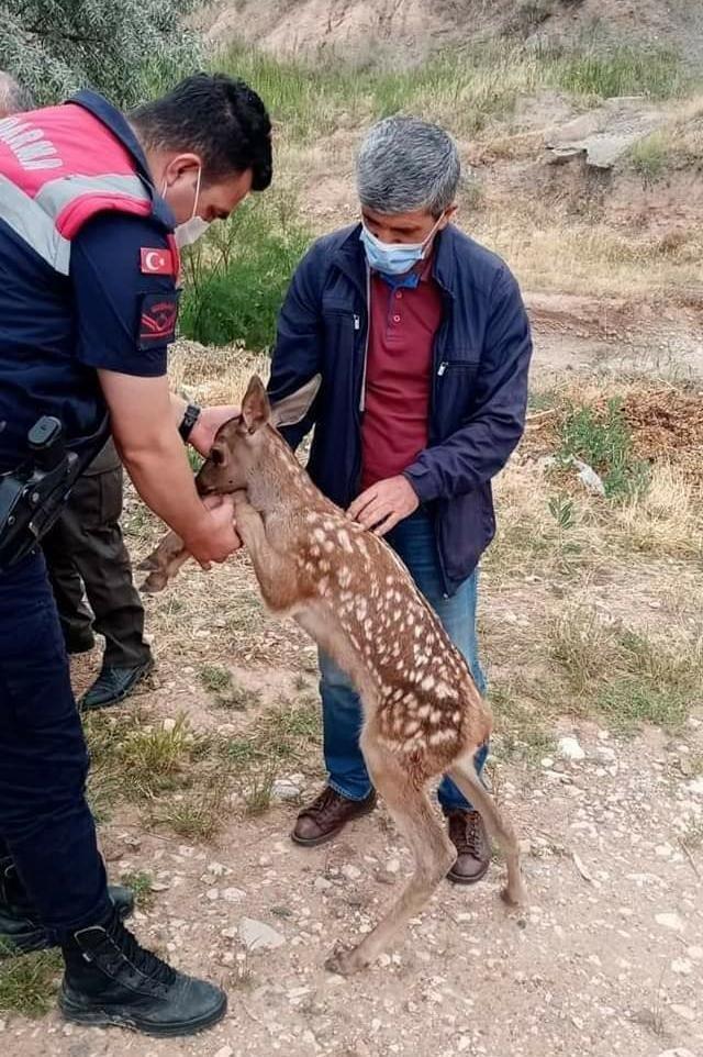 Nallıhan'da yavru ceylan köpeklerin elinden son anda kurtarıldı