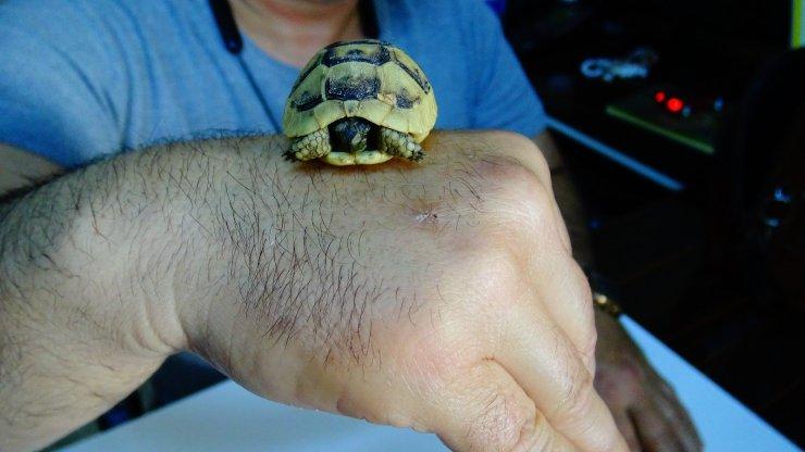 Bulduğu ceviz büklüğündeki kaplumbağa yavrusunu görevlilere teslim etti