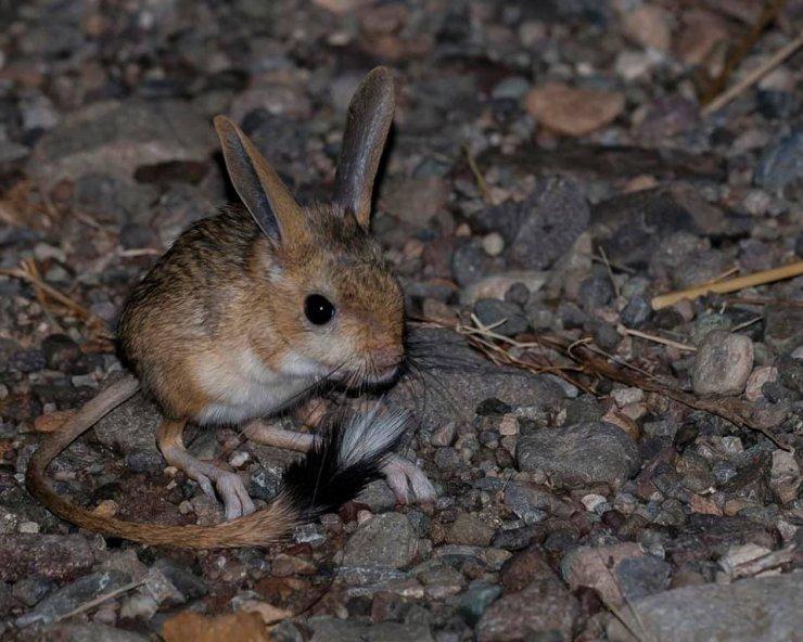 Sivas'ta Arap tavşanı görüntülendi